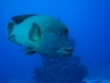 dykresa_red_sea_atlantis_dive_college_napolionfisk
