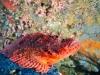 filippinerna_dykresa_atlantis_dive_college_scorpionfish