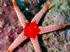 filippinerna_dykresa_atlantis_dive_college_seastar