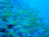 dykresa_red_sea_atlantis_dive_college_dykare_fiskstimm