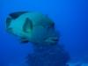 dykresa_red_sea_atlantis_dive_college_napolionfisk