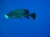 dykresa_red_sea_atlantis_dive_college_napolionfiskar